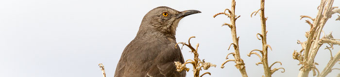 Curve-billed Thrasher, Alamogordo NM, November 12, 2011