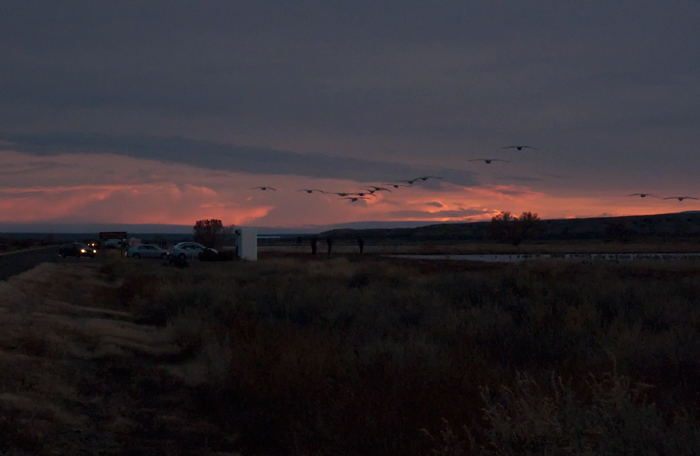 Coming to Roost, Bosque del Apache National Wildlife Refuge, San Antonio NM, January 22, 2010