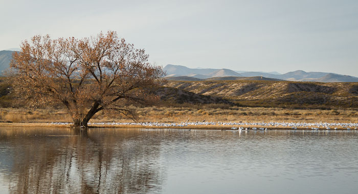 Snow Geese, Bosque del Apache National Wildlife Refuge, San Antonio NM, February 1, 2010