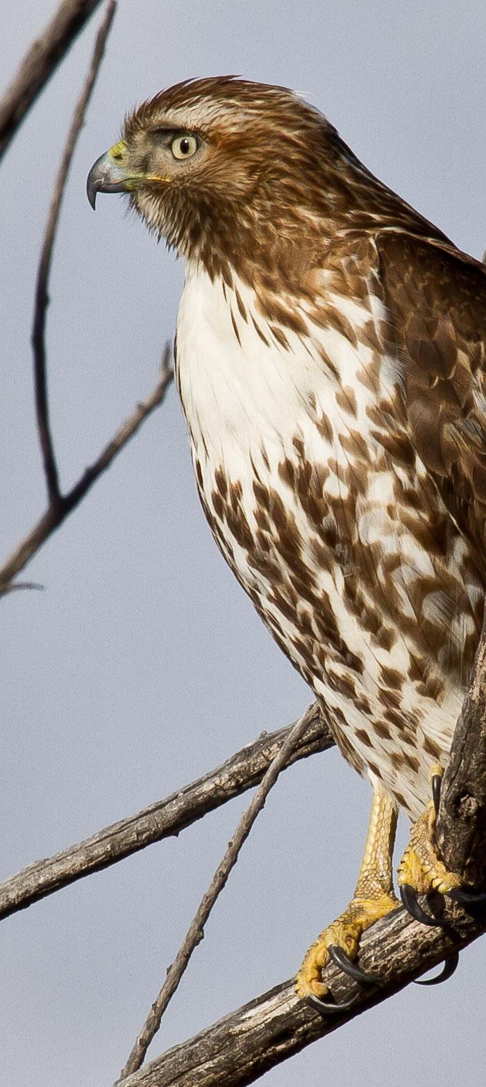 Cooper's Hawk, Bosque del Apache National Wildlife Refuge, San Antonio NM, February 11, 2010