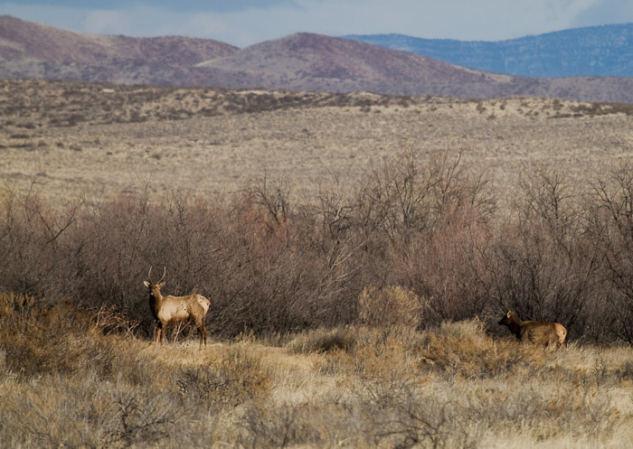 Elk, Bosque National Wildlife Refuge, San Antonio NM, February 11, 2010