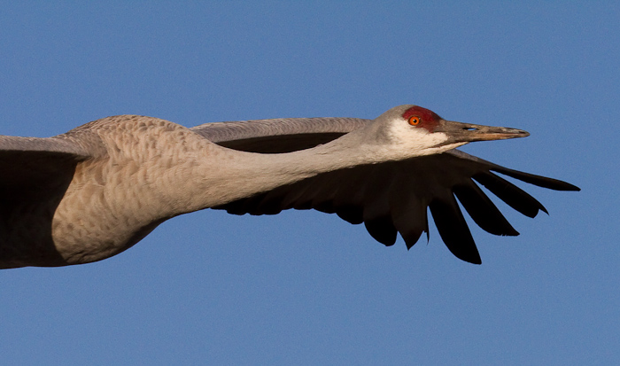 Smile!, Sandhill Crane, Bosque National Wildlife Refuge, San Antonio NM, February 12, 2010