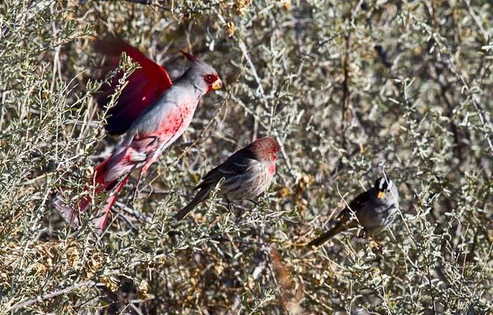 Pyrrhuloxia, House Finch, White-crowned Sparrow, Bosque Birdwatchers RV Park, San Antonio NM, February 20, 2010