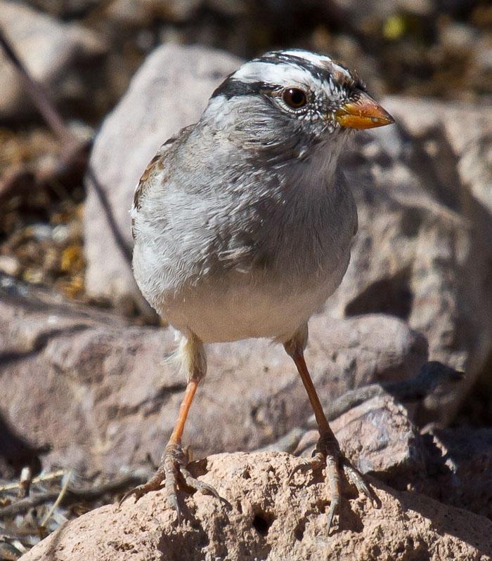 White-crowned Sparrow, San Antonio NM, April 8, 2010