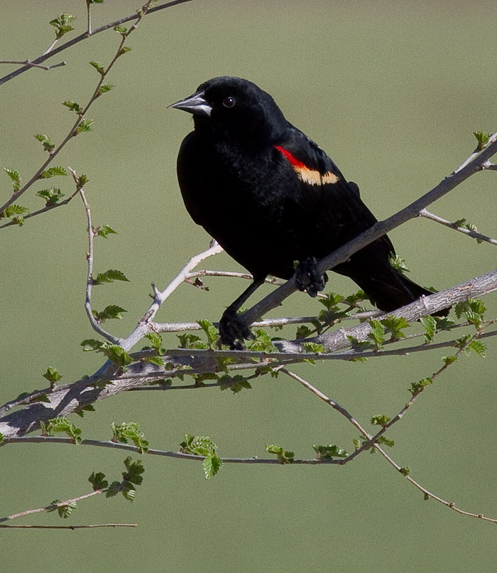 Red-winged Blackbird, San Antonio NM, April 13, 2010