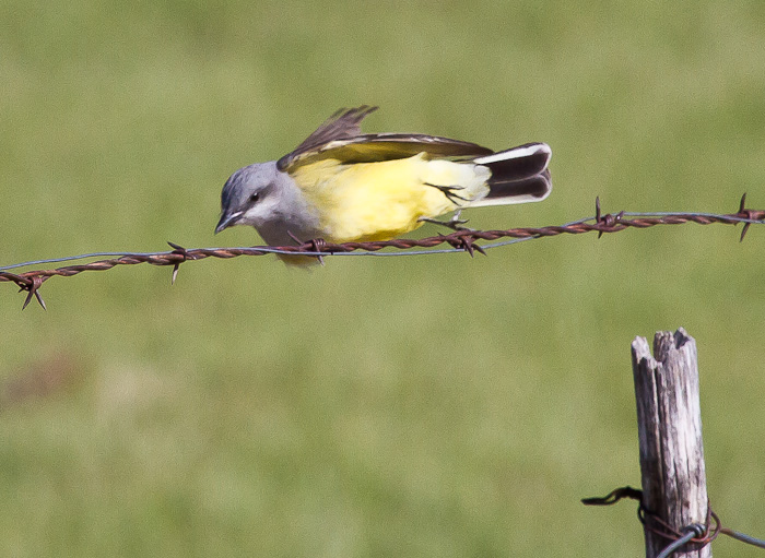 On Target, Western Kingbird, San Antonio NM, April 15, 2010