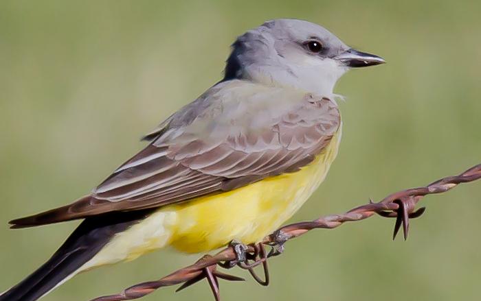 Western Kingbird, San Antonio NM, April 15, 2010