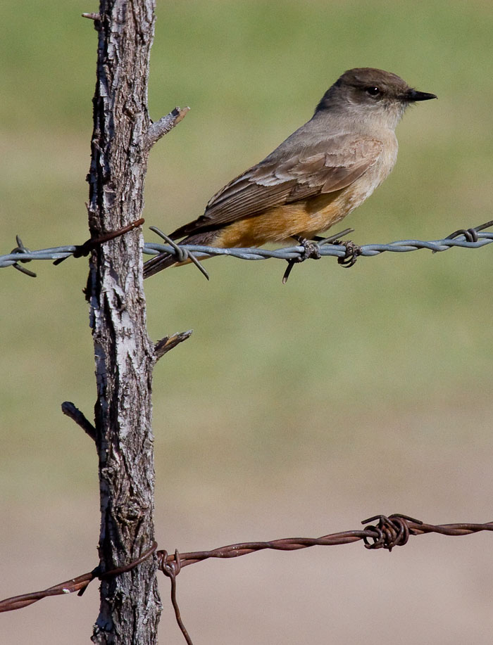 Say's Phoebe, San Antonio NM, April 15, 2010