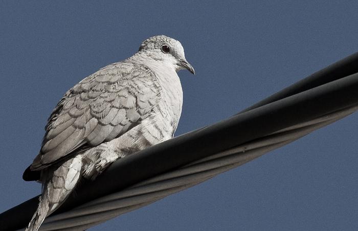Triplex, Inca Dove, San Antonio NM, April 15, 2010