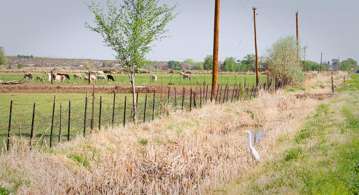 Great Egret, San Antonio NM, April 21, 2010