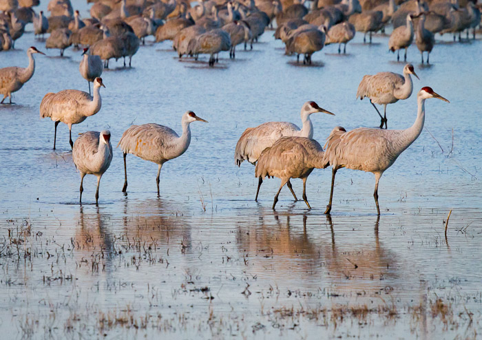 Going to Breakfast, Sandhill Cranes, Bosque del Apache National Wildlife Refuge, San Antonio NM, January 17, 2011