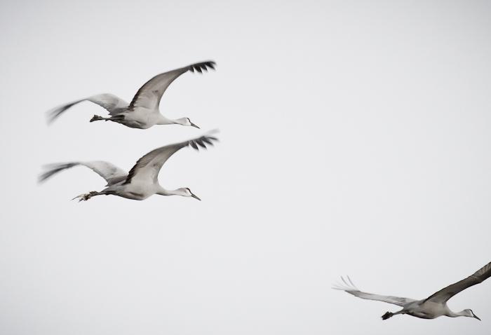 Different Strokes, Sandhill Cranes, Bosque National Wildlife Refuge, San Antonio NM, February 5 2011