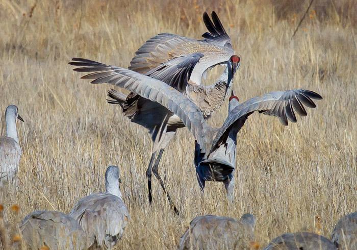 Sandhill Cranes, Bosque National Wildlife Refuge, San Antonio NM, February 6 2011