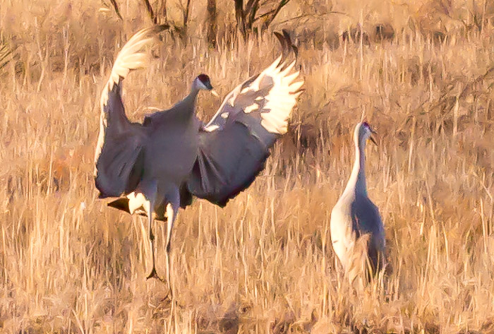 Yeah yeah..., Sandhill Cranes, Bosque del Apache National Wildlife Refuge, San Antonio NM, February 9, 2011