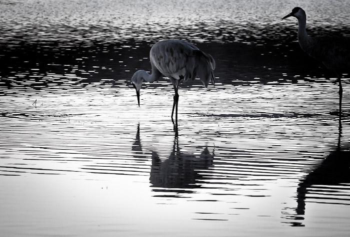 Reflection, Sandhill Cranes, Bosque del Apache National Wildlife Refuge, San Antonio NM, February 9, 2011
