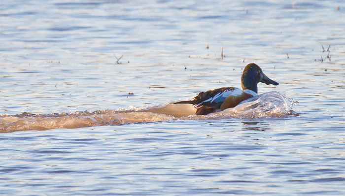 Vroooooom... Northern Shoveler, Bosque del Apache National Wildlife Refuge, San Antonio NM, February 10, 2011