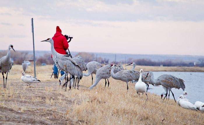 Birding the Bosque, Sandhill Cranes, Snow Geese, Bosque del Apache National Wildlife Refuge, San Antonio NM, February 14, 2011
