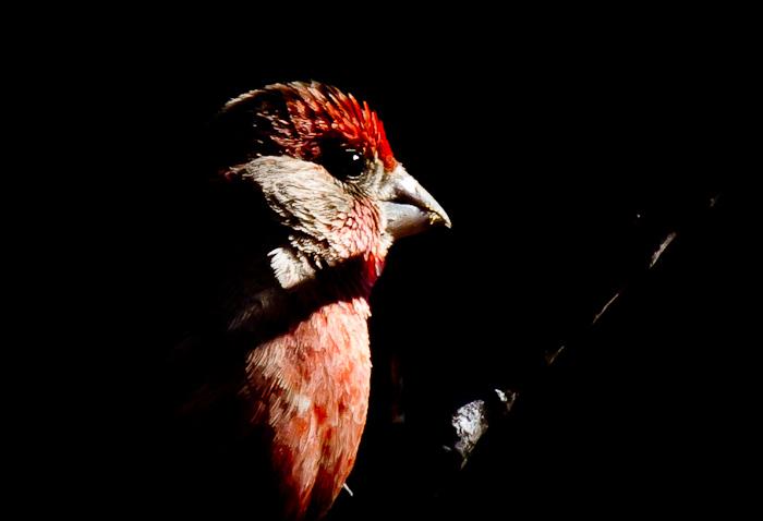 House Finch, Bosque Birdwatchers RV Park, San Antonio NM, February 21, 2011