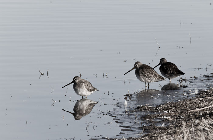 Long-billed Dowitchers, Bosque del Apache National Wildlife Refuge, San Antonio NM, February 23, 2011