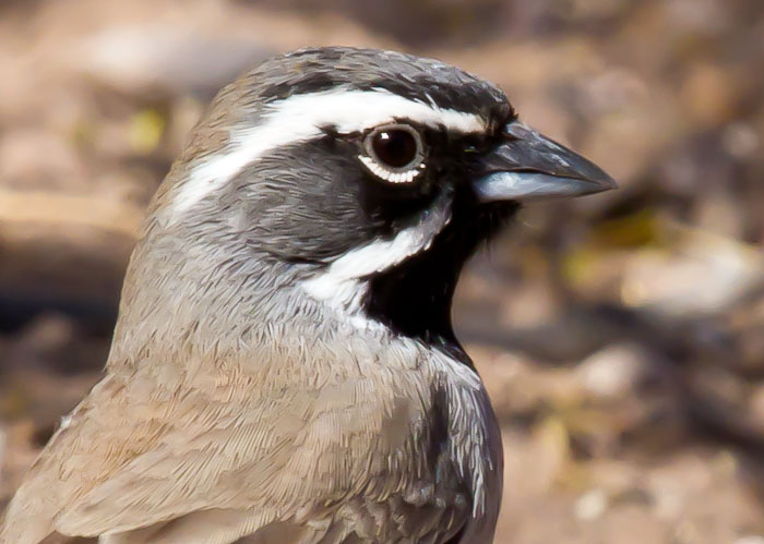 Black-throated Sparrow, Bosque Birdwatchers RV Park, San Antonio NM, March 5, 2011