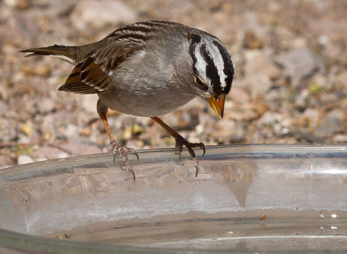 Drink, White-crowned Sparrow, Bosque Birdwatchers RV Park, San Antonio NM, March 5, 2011