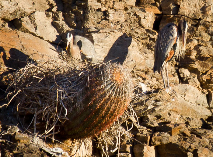 Catching Some Rays, Great Blue Herons, Burro Creek AZ, March 28, 2011