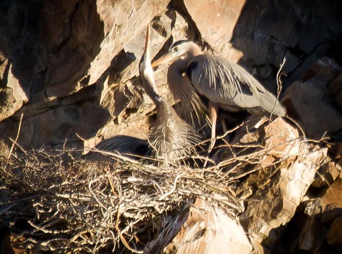Oooooh... It Feels Good to Stretch!, Great Blue Herons, Burro Creek AZ, March 28, 2011