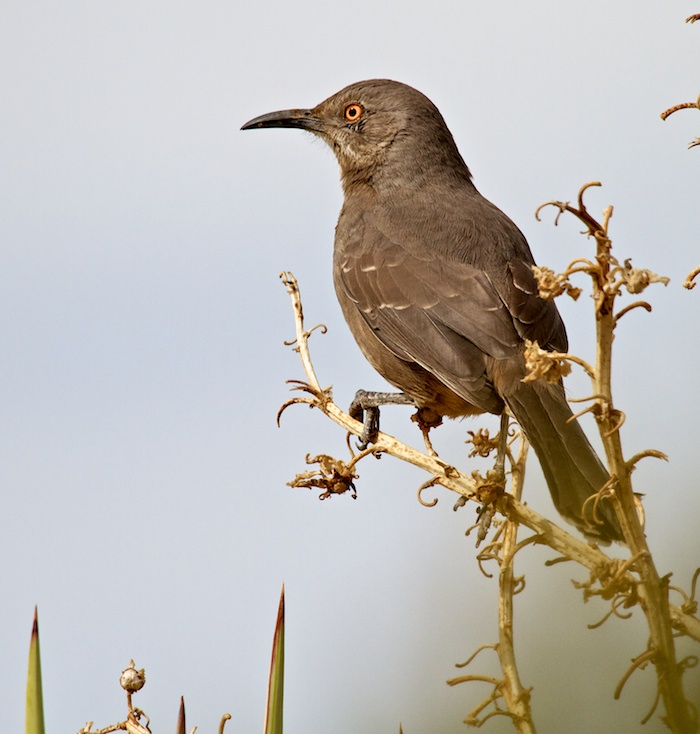 Curve-billed Thrasher, Male, Oliver Lee Memorial State Park, Alamogordo NM, November 12, 2011