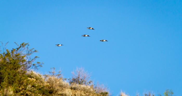 Flyover, American White Pelicans, Paseo del Rio, Elephant Butte NM, April 2, 2012