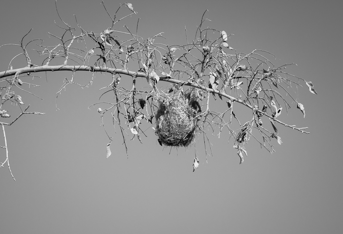 Oriole Nest, Paseo del Rio, Elephant Butte NM, April 2, 2012