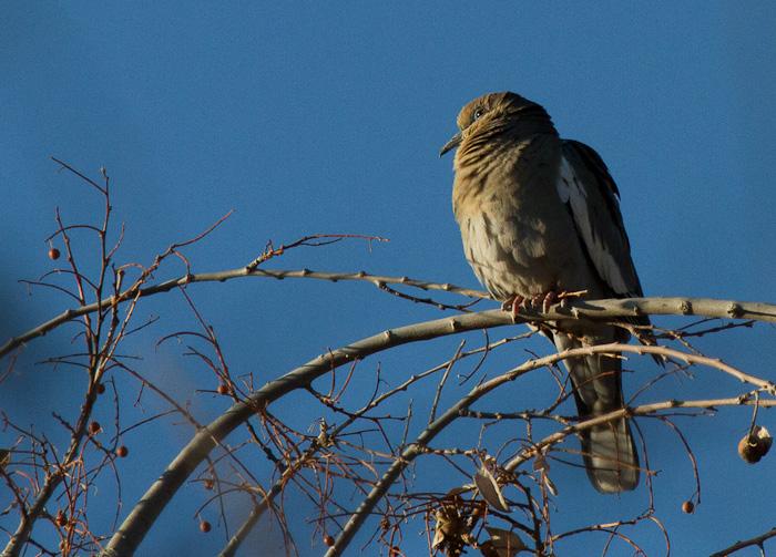 Catchin' Some Rays, White-winged Dove, Paseo del Rio, Elephant Butte NM, April 2, 2012