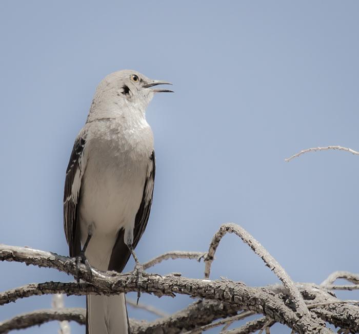 When the Mockingbird Sings, Caballo Lake State Park, Caballo NM, April 23, 2012
