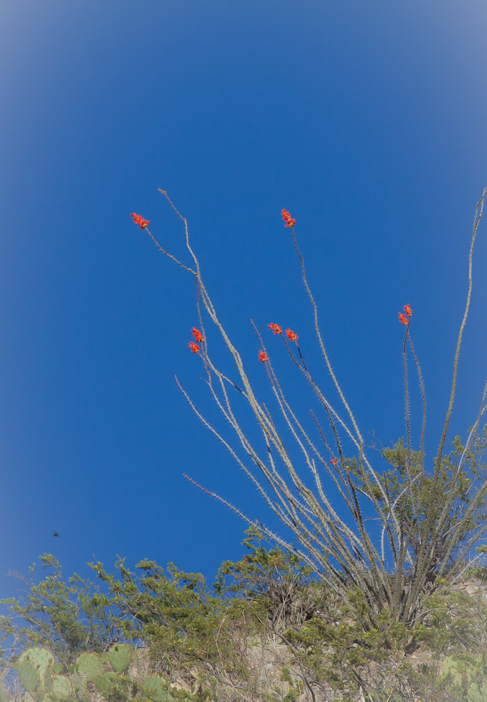 Ocotillo, Caballo Lake State Park, Caballo NM, May 1, 2012