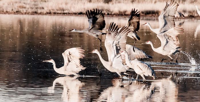 Takeoff, Sandhill Cranes, Bosque del Apache National Wildlife Refuge, San Antonio NM, November 6, 2012