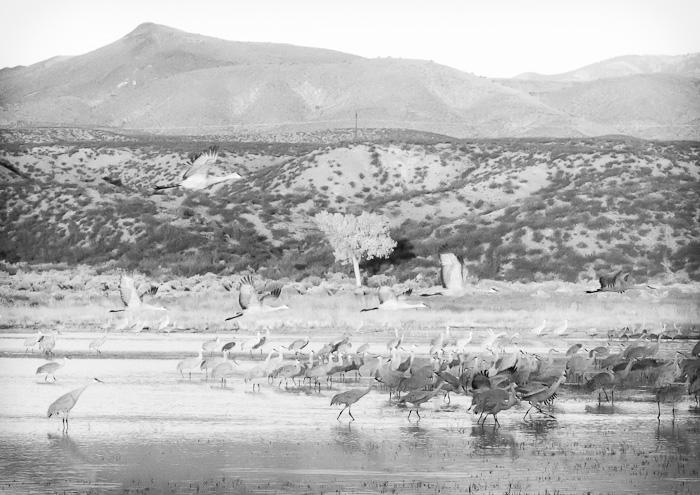 Off to Brekkie, Sandhill Cranes, Bosque del Apache National Wildlife Refuge, San Antonio NM, November 7, 2012