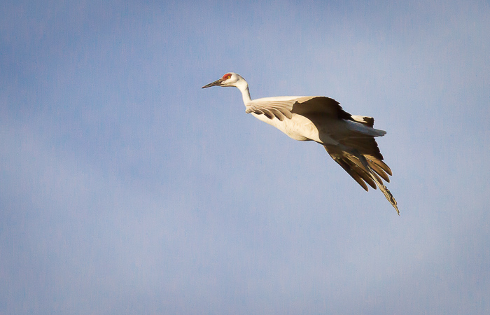 Final Approach, Sandhill Crane, Bosque del Apache National Wildlife Refuge, San Antonio NM, November 22, 2012