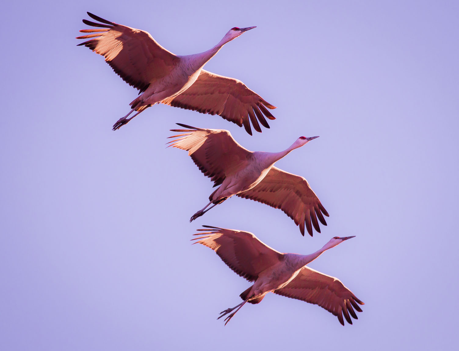 Sandhill Cranes, Bosque del Apache National Wildlife Refuge, San Antonio NM, December 8, 2012