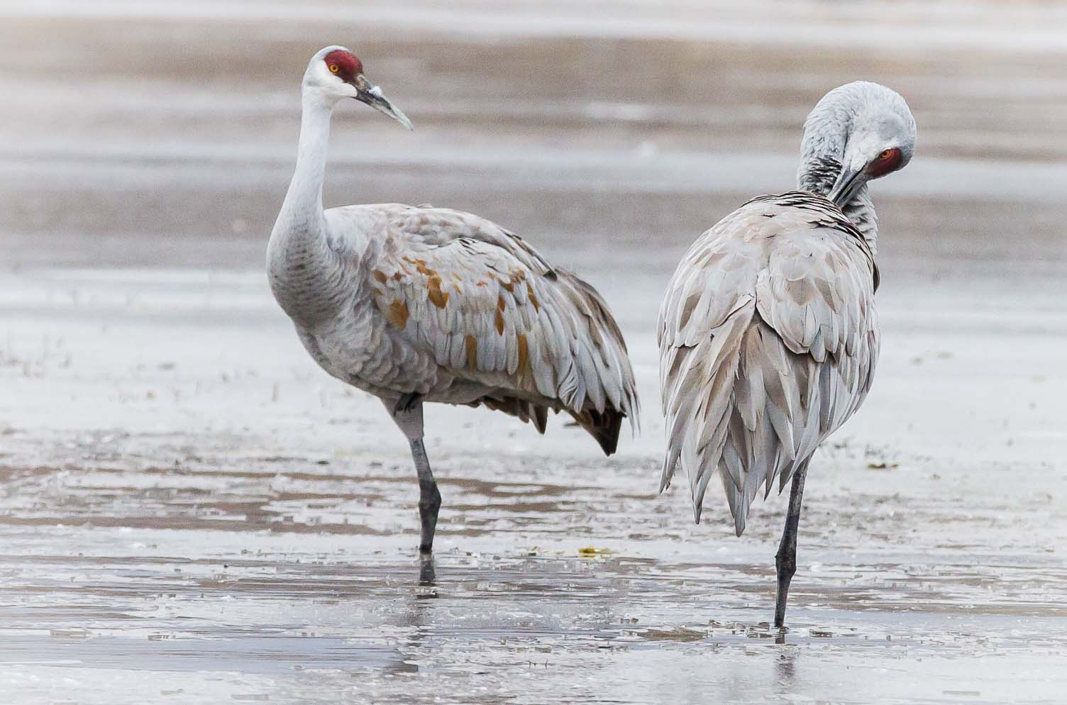 A leg to stand on, Bosque del Apache National Wildlife Refuge, San Antonio NM, January 5, 2013