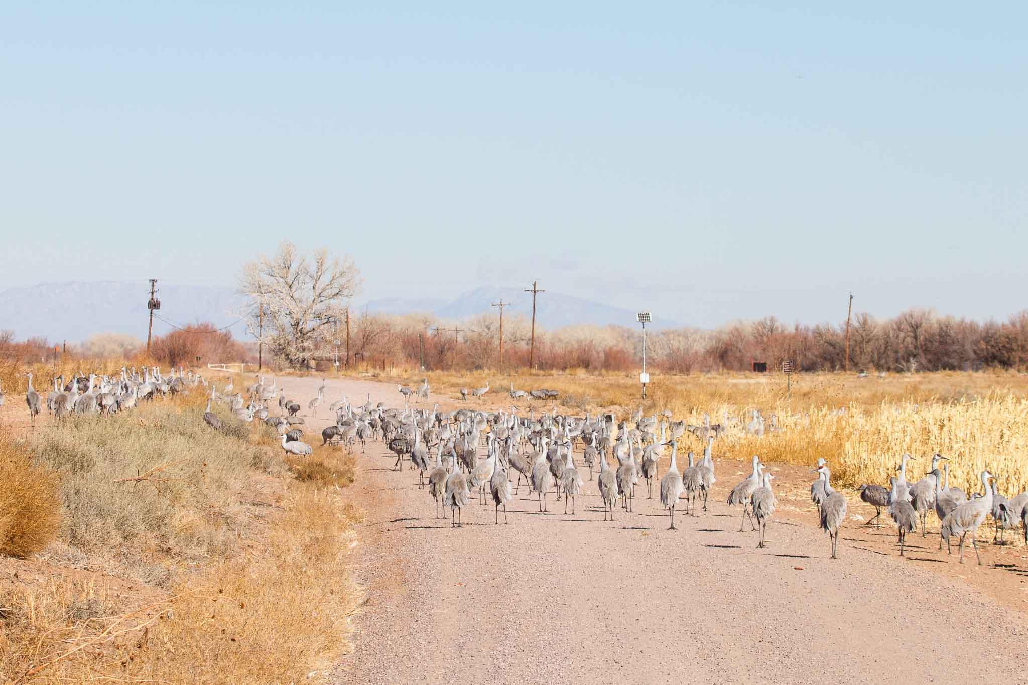 Sandhill Cranes, Bernardo Wildlife Management Area, Bernardo NM, January 15, 2013