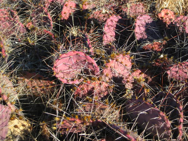 Prickly Pear, Brantley Lake State Park, Carlsbad NM, January 15, 2008